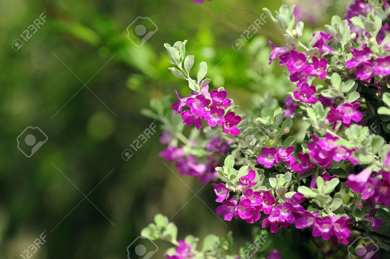 Purple Flowers Bush Barometer Bush Need Sun All Day Stock Photo