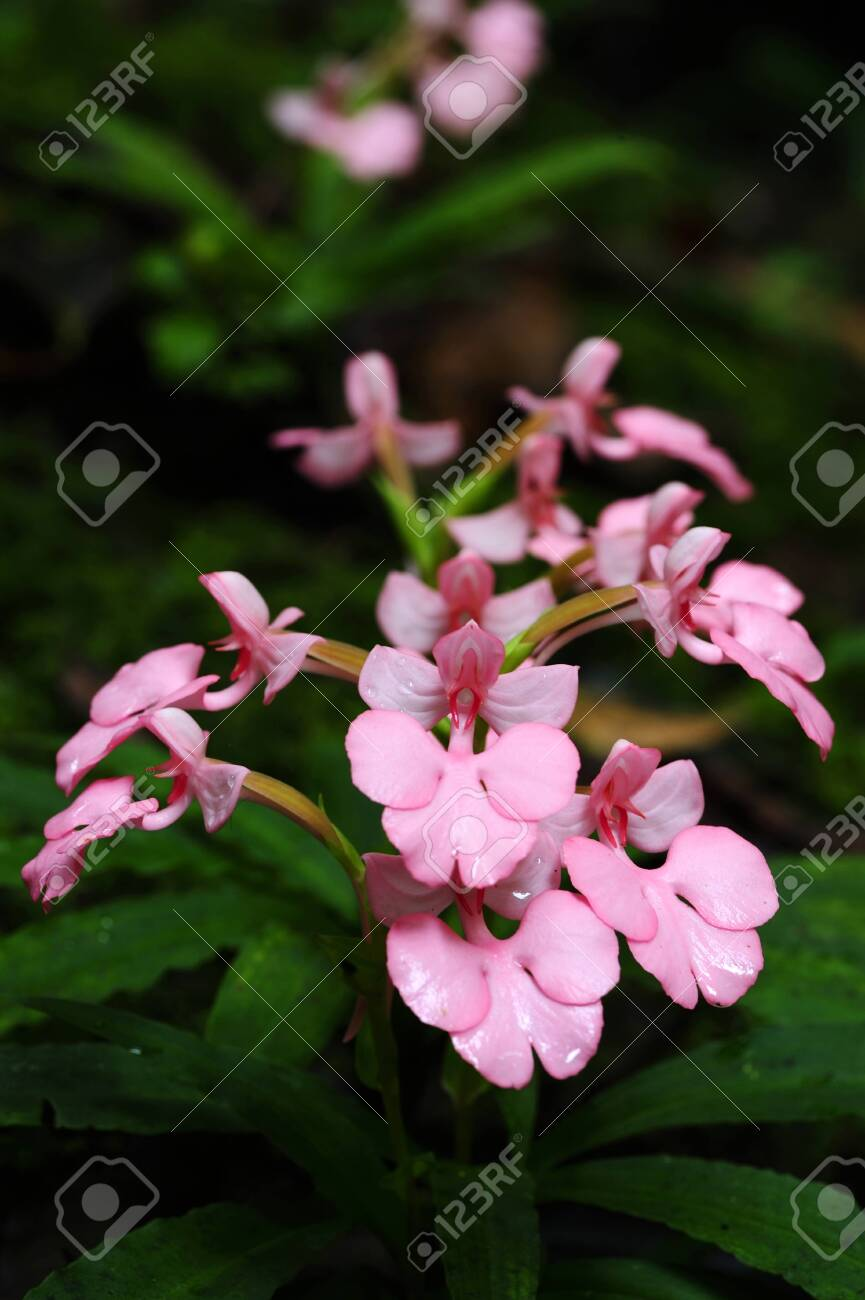 Pink Habenaria Flowers Will Bloom Once A Year Stock Photo