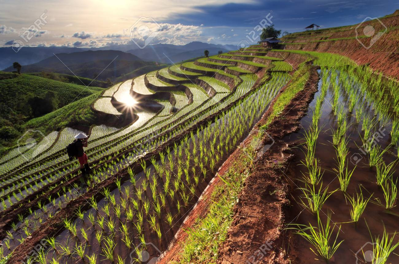 Image result for rice fields thailand