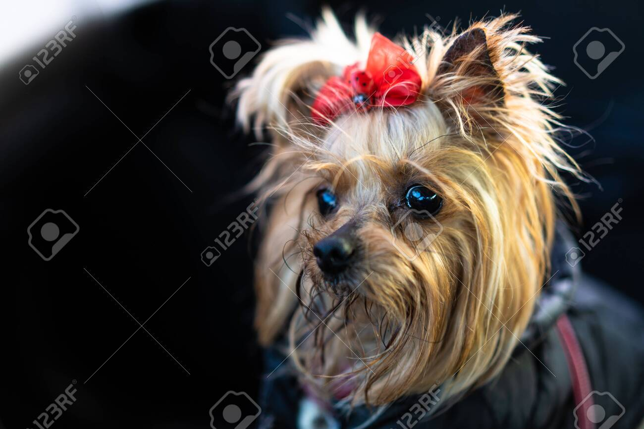 Yorkshire Terrier dog in clothes sits in a car - 141613893