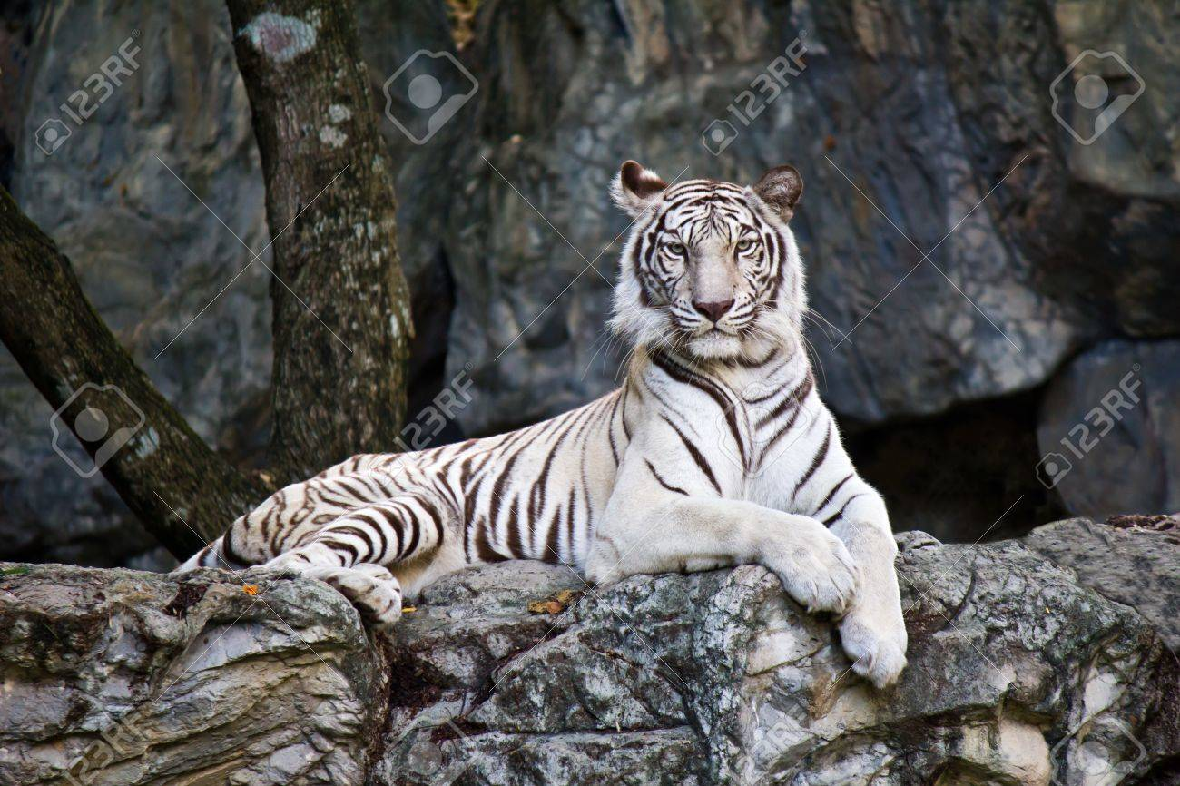 White Bengal Tiger Stock Photo - 14538557