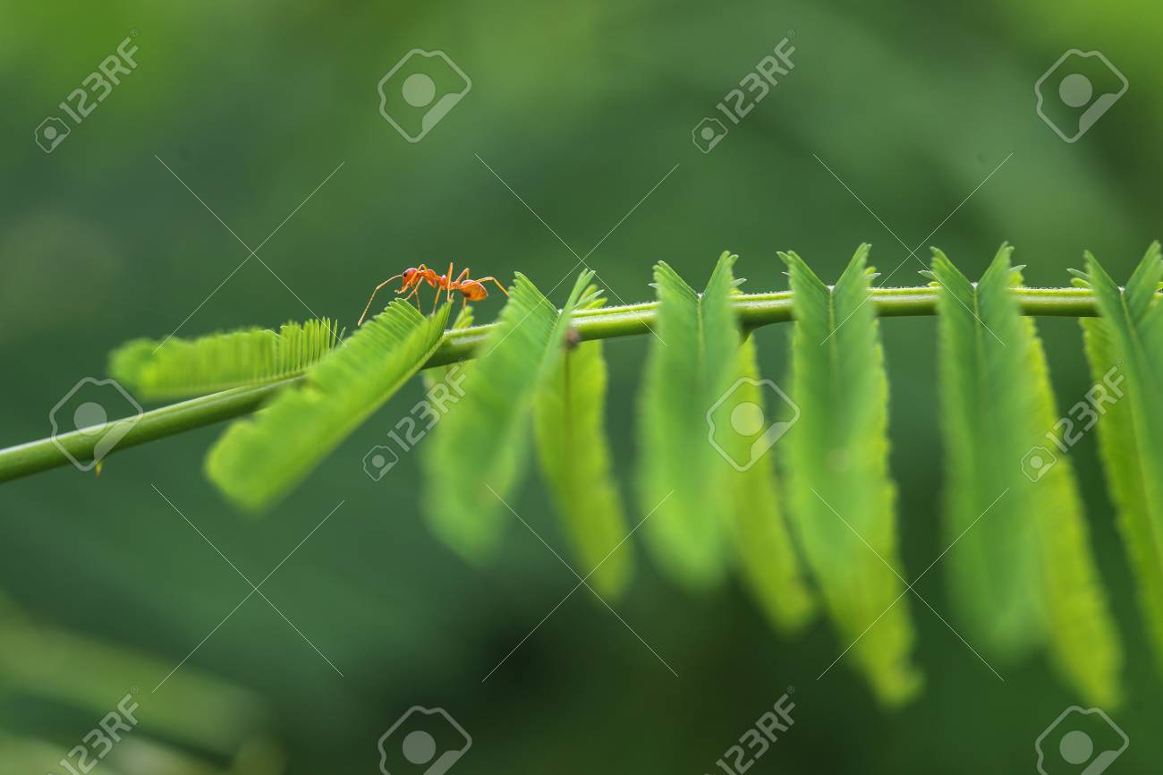 Closed Up Red Ant Walk On Top Acacia Plant Stock Photo Picture And