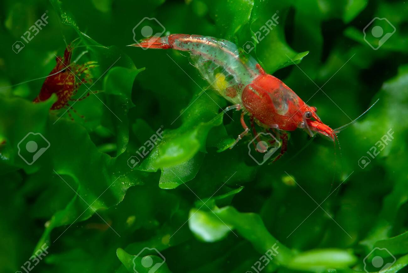 Red sushi dwarf shrimp with pregnancy stay on green aquatic plant