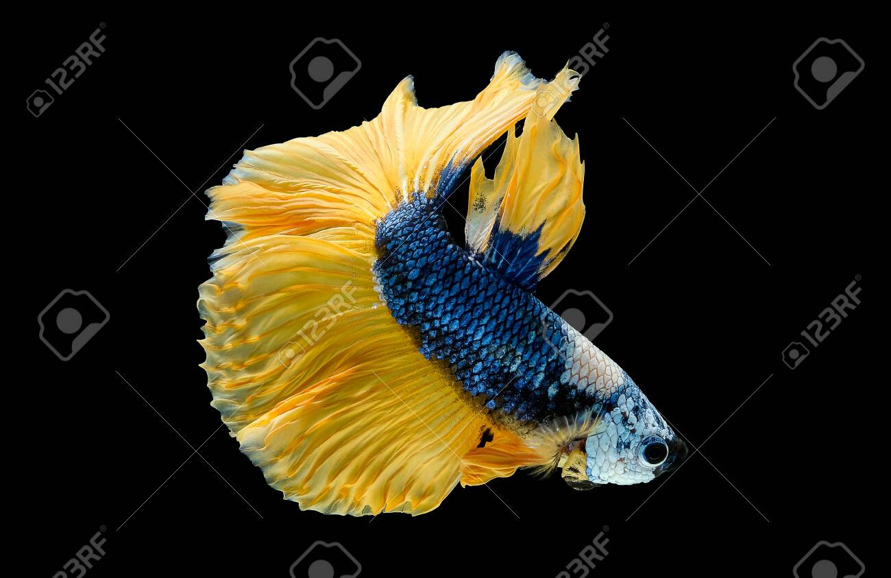 Colorful With Main Color Of Dark Blue White And Yellow Betta Stock Photo Picture And Royalty Free Image Image 129078166