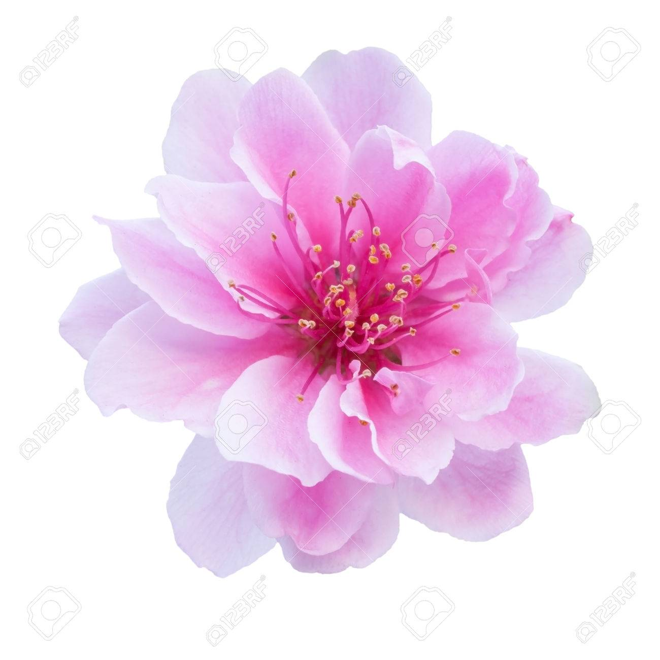 Pink cherry blossom isolated on white background stock photo pink cherry blossom isolated on white background stock photo 70960363 mightylinksfo