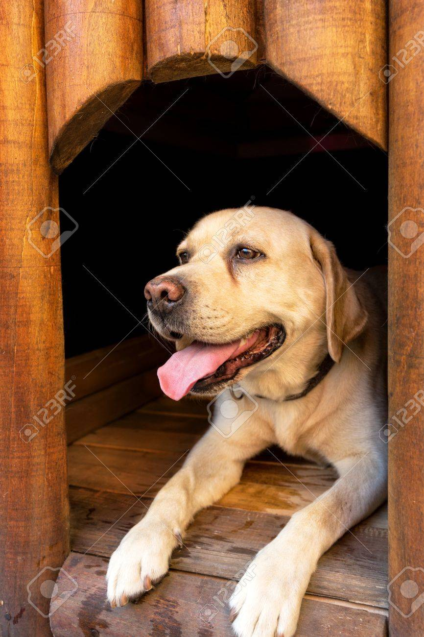 Happy White Male Labrador Dog Laying In His Wooden House Stock Photo