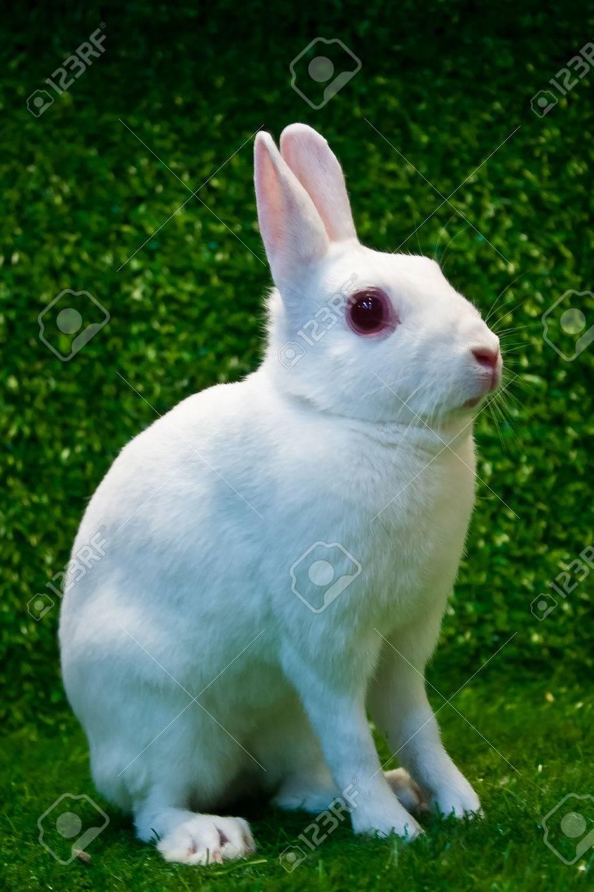 britannia petite rabbit pose on the grass Stock Photo - 25550155