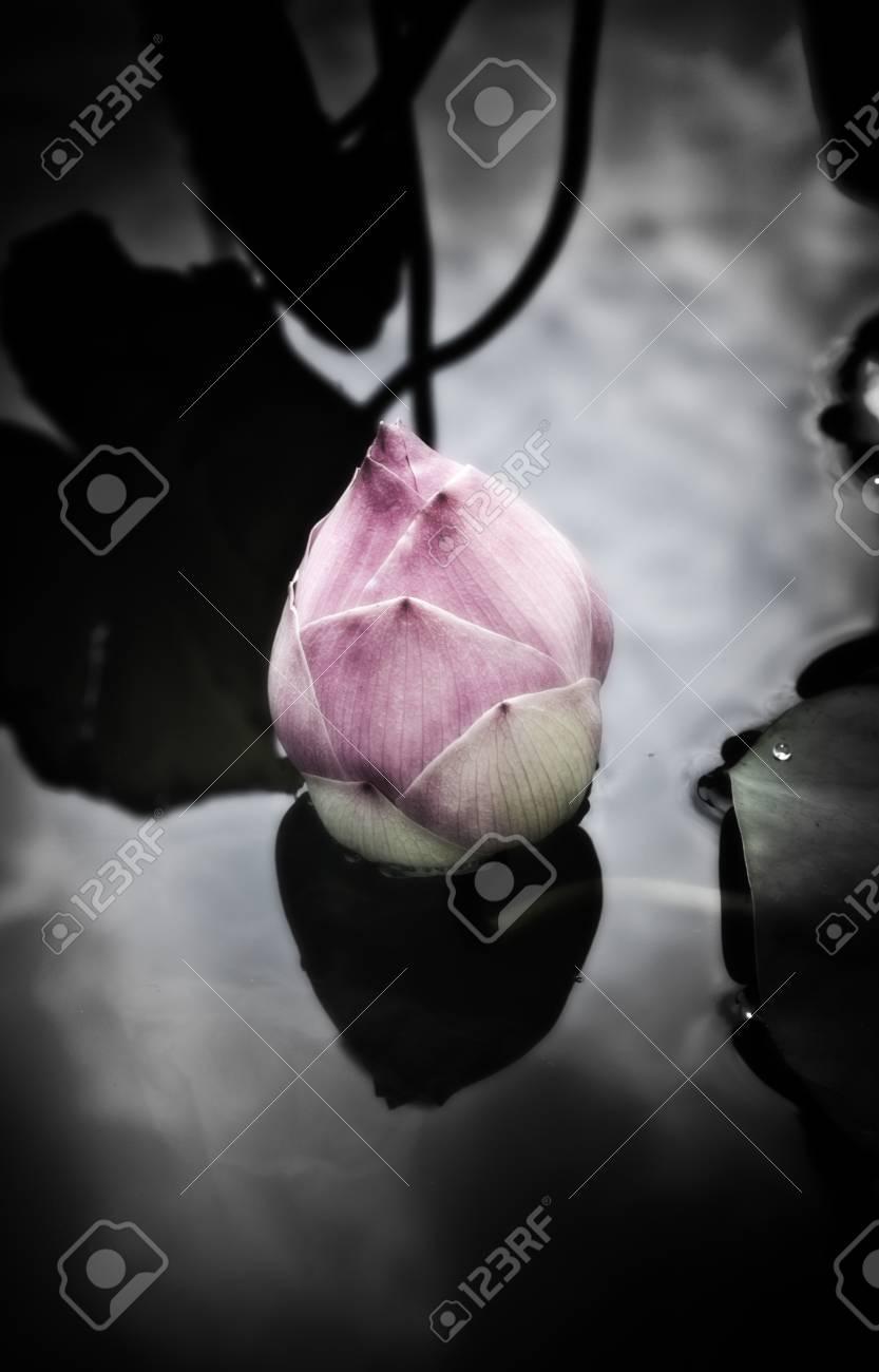 pink lotus flower in dark frame Stock Photo - 16929169