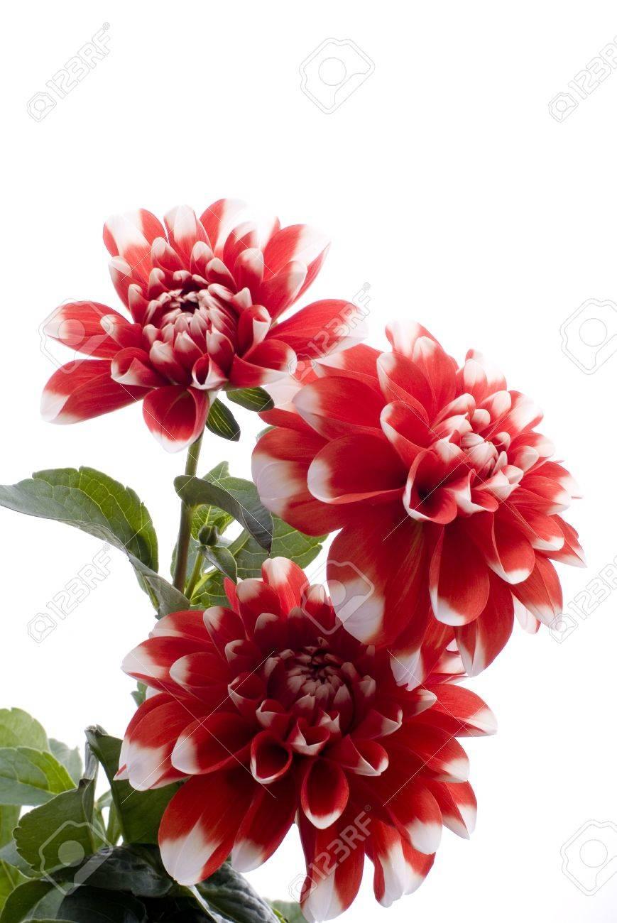 dahlia rouge fleur sur fond blanc banque d'images et photos libres