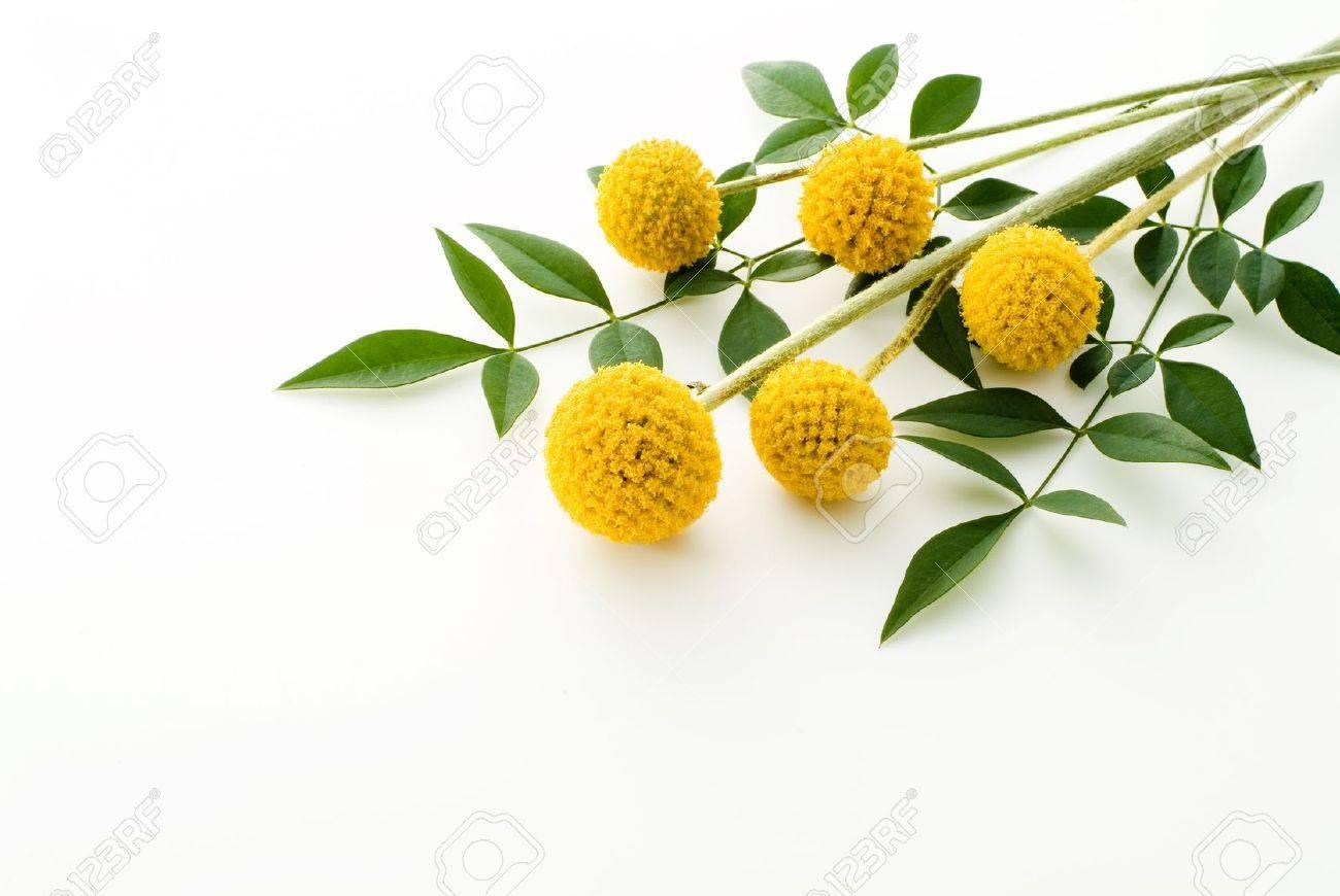 Craspedia flowers 'Gold sticks' on white background - 12953483