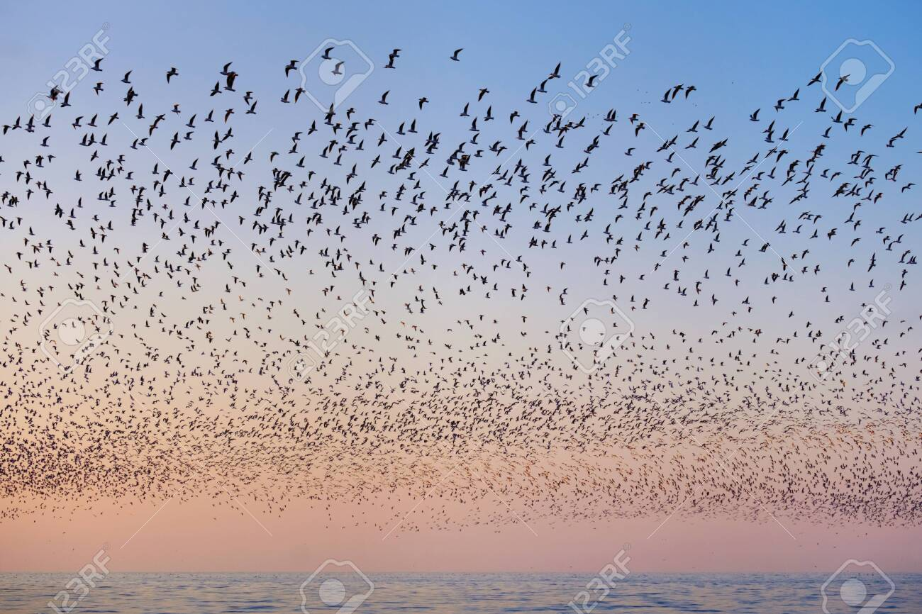 Flock of flying seagulls over the blue sea in the pink sunset sky - 154003031