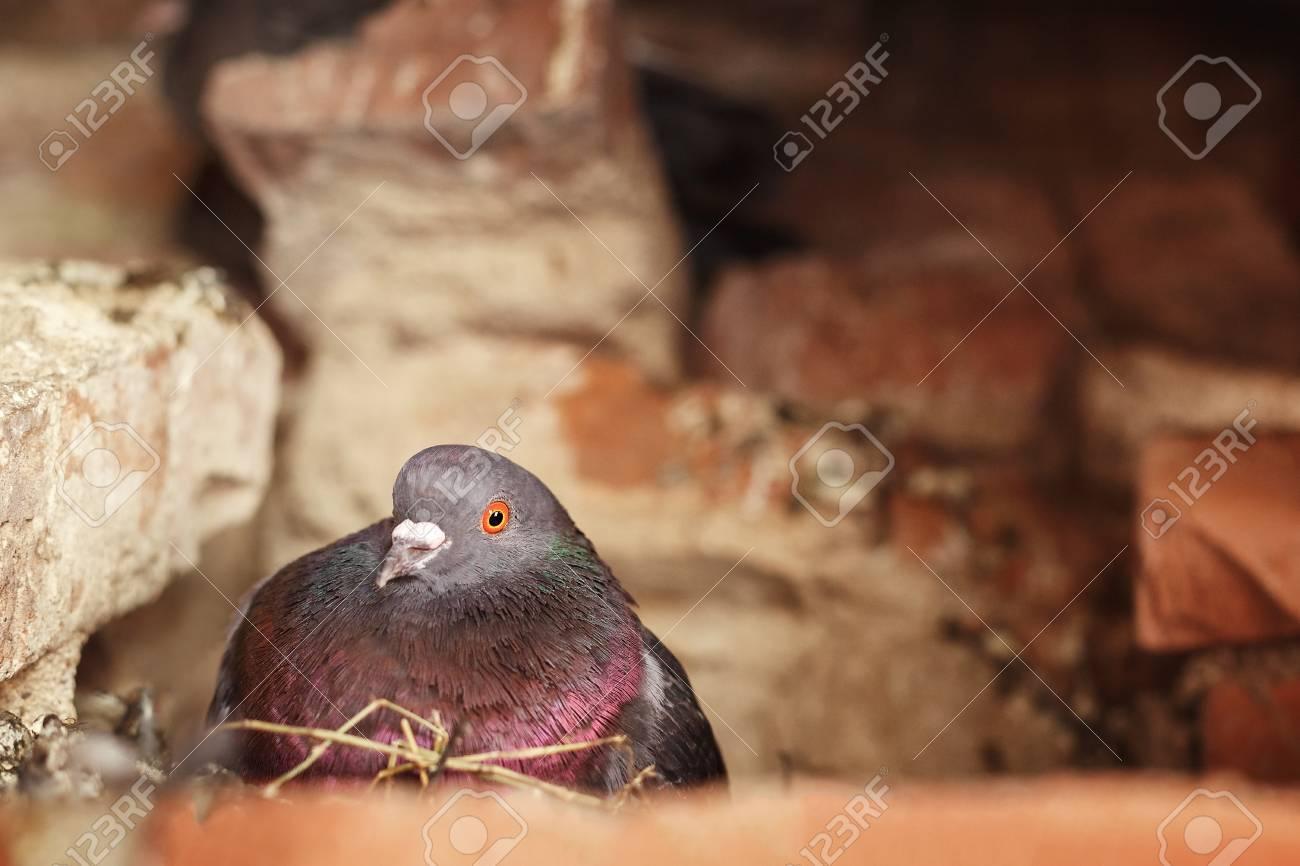 鳩の巣に座っていると、卵が孵る。屋根裏の巣。 の写真素材・画像素材 ...