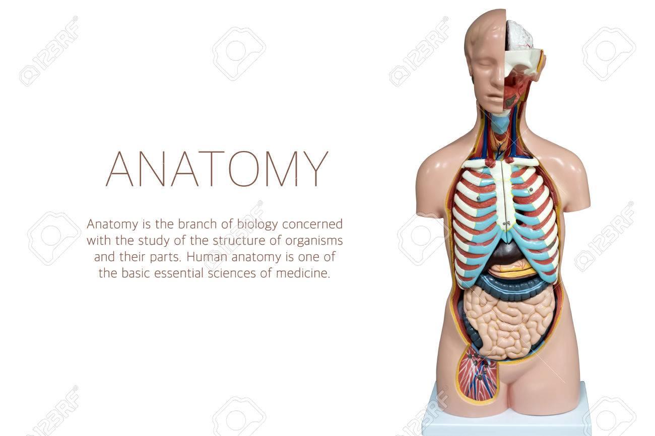 Menschliche Anatomie Mannequin Isoliert Auf Weißem Hintergrund. Die ...