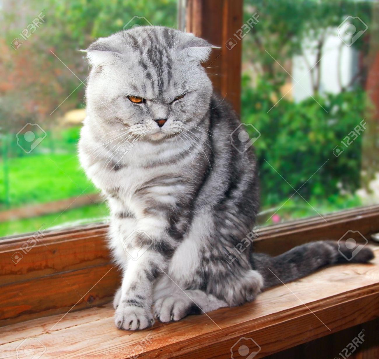 El británico de orejas caídas piel de tigre gris gato está sentado en el alféizar de