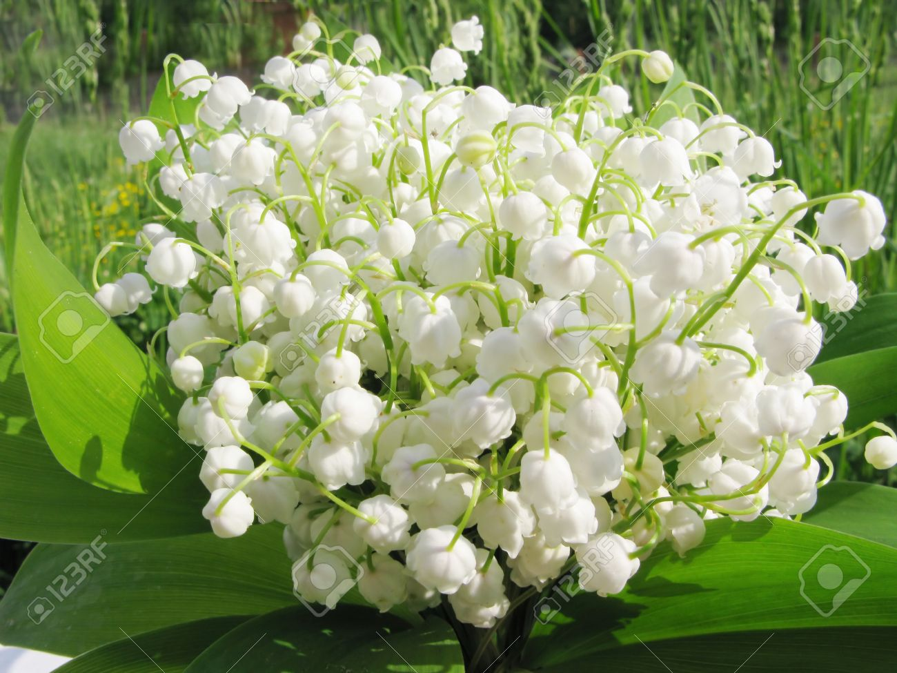 Bouquet Of Lily Of The Valley Field Flowers On Natural Background