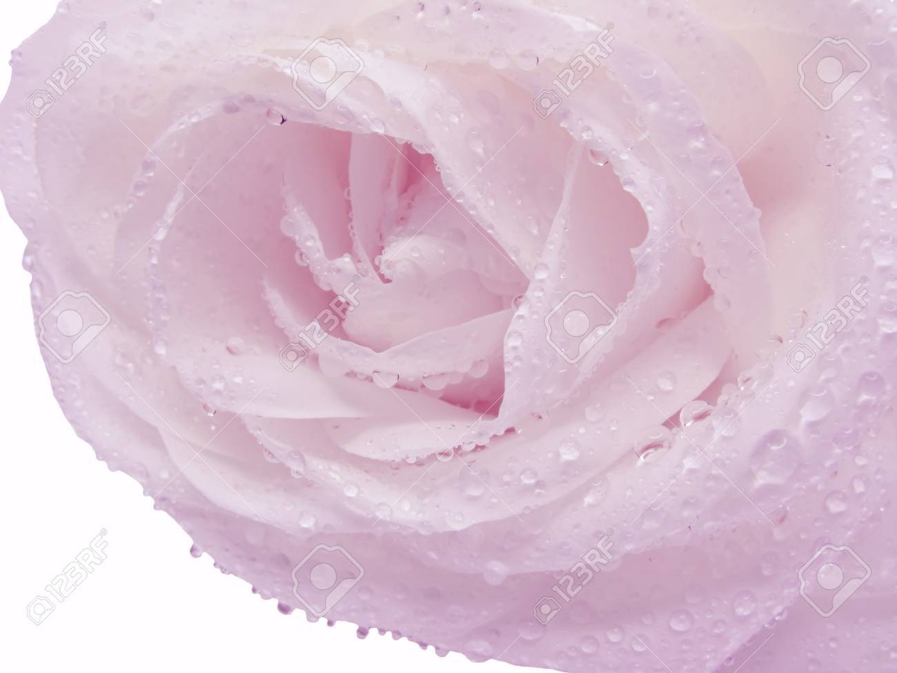 Pink Rose With Water Drops And Stem