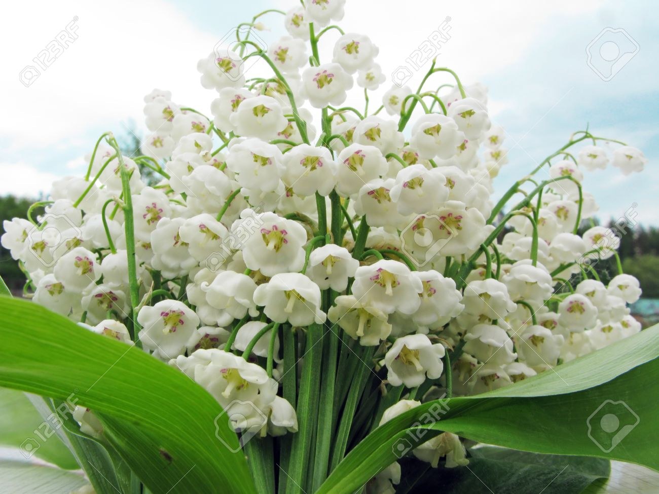 White lily of the valley flowers bouquet floral background stock stock photo white lily of the valley flowers bouquet floral background izmirmasajfo