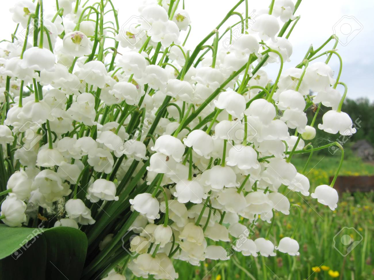 White Lily Of The Valley Flowers Bouquet Floral Background Stock