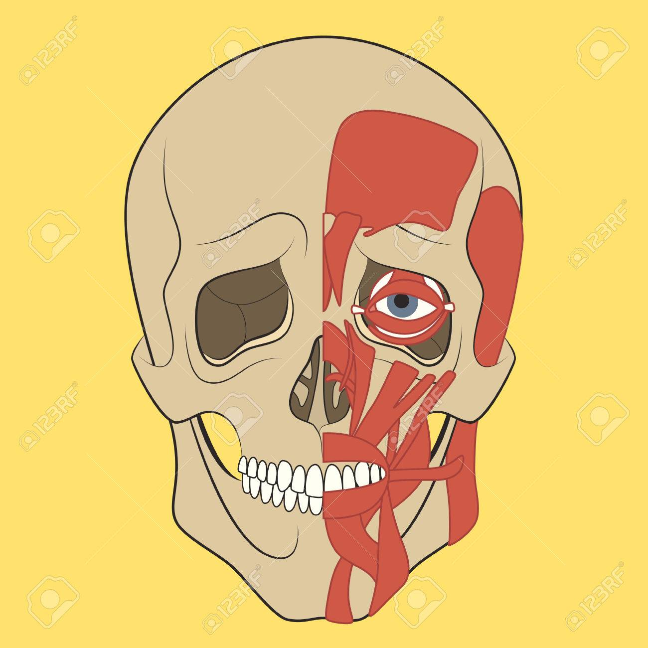 Muscle Of Faces Vector Illustration Of Human Head Anatomy Medical