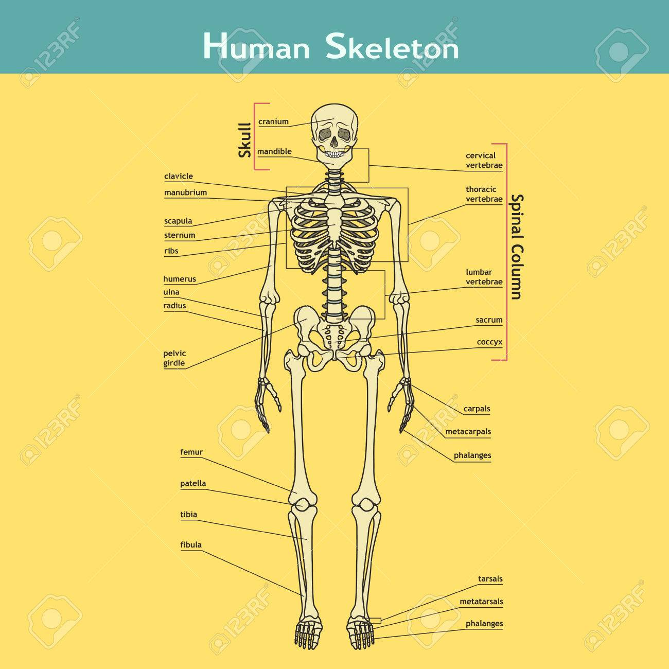 Ilustración Del Sistema Esquelético Con Etiquetas. Esqueleto Humano ...