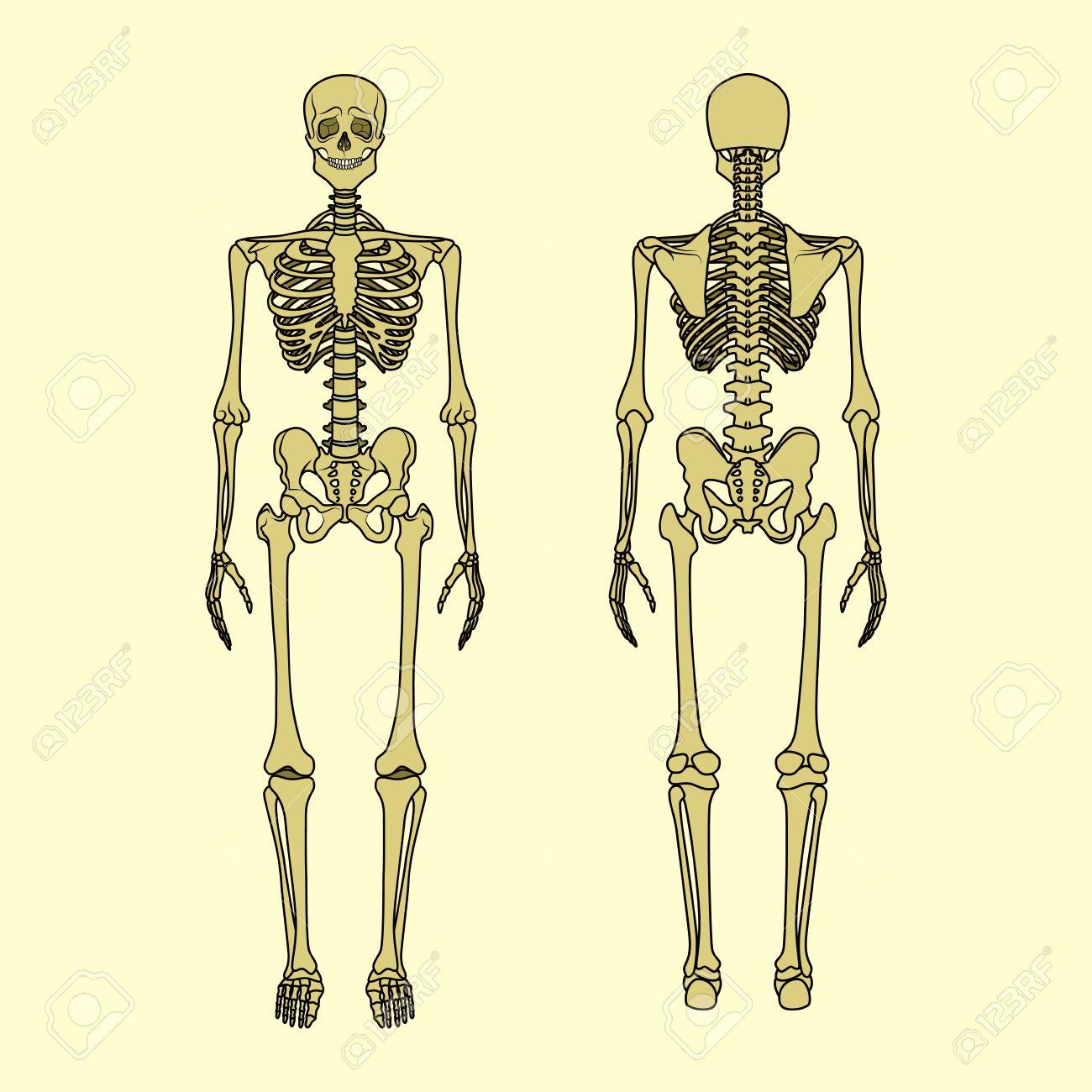 Esqueleto Humano, Vista Frontal Y Trasera. Tablero De Didáctica De ...