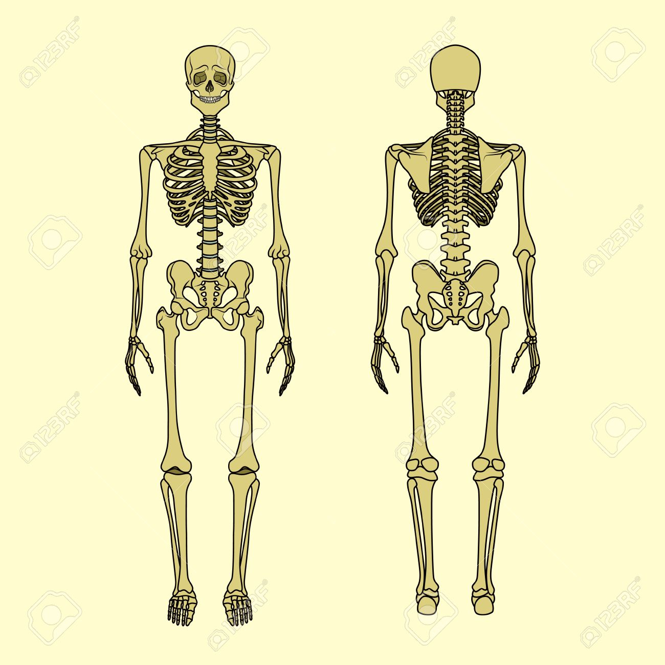 Human skeleton front and rear view didactic board of anatomy human skeleton front and rear view didactic board of anatomy of human bony system ccuart Image collections
