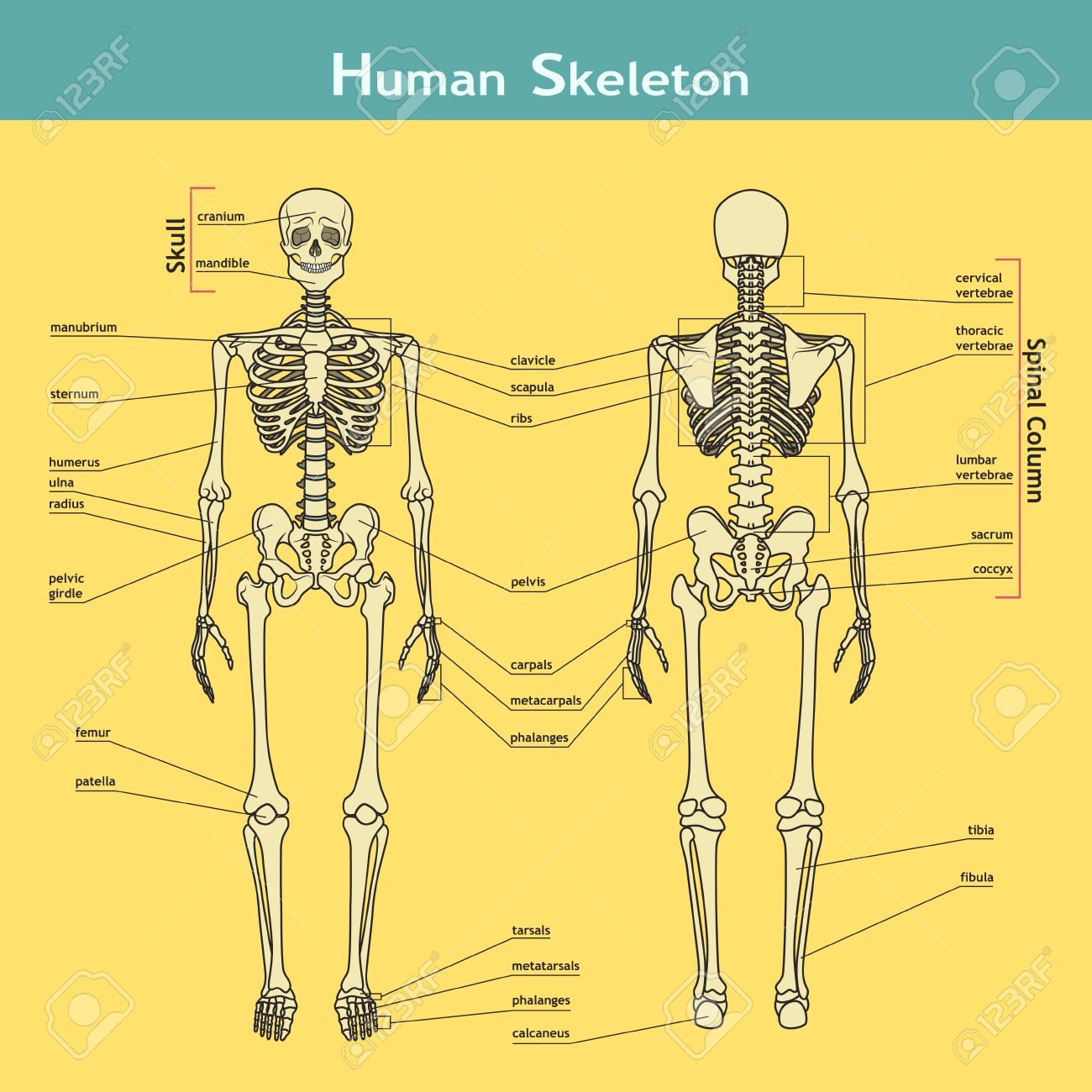 Vector illustration of human skeleton. Didactic board of anatomy of human bony system. Illustration of skeletal system with labels. A diagram of the main parts of the skeletal system. - 52159814