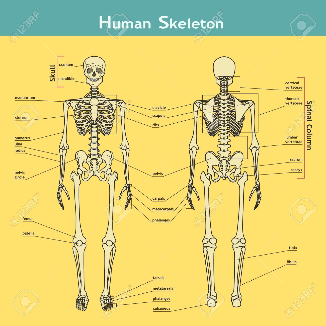 Banque d images - Vector illustration du squelette humain. carte Didactique  de l anatomie du système osseux humain. Illustration du système  squelettique ... 201433f146a