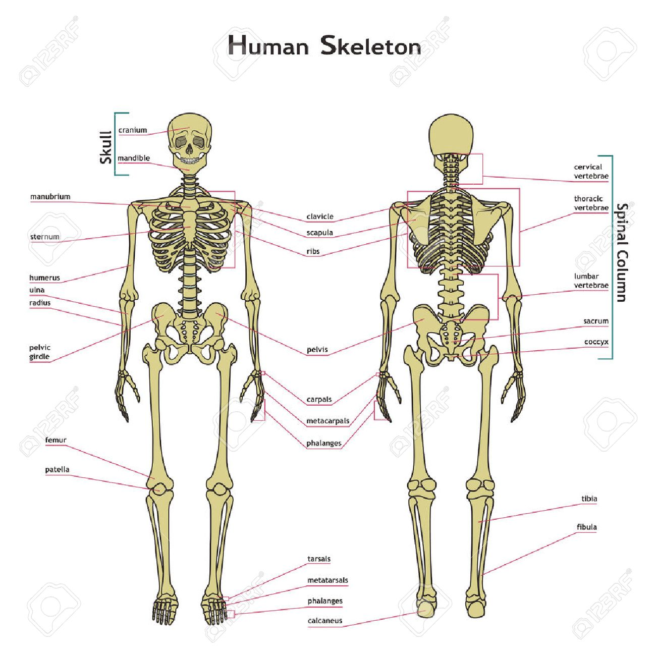 Vector illustration of human skeleton. Didactic board of anatomy of human bony system. Illustration of skeletal system with labels. A diagram of the main parts of the skeletal system. - 52159817