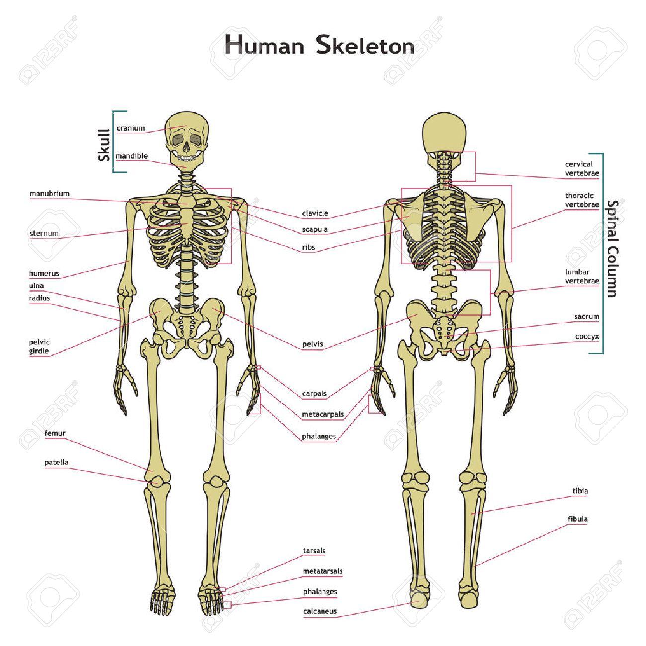 Vector Illustration Du Squelette Humain. Carte Didactique De L ...