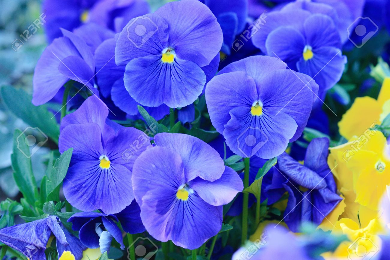 Flower-bed Of Blooming Blue Pansies Stock Photo, Picture And Royalty ...