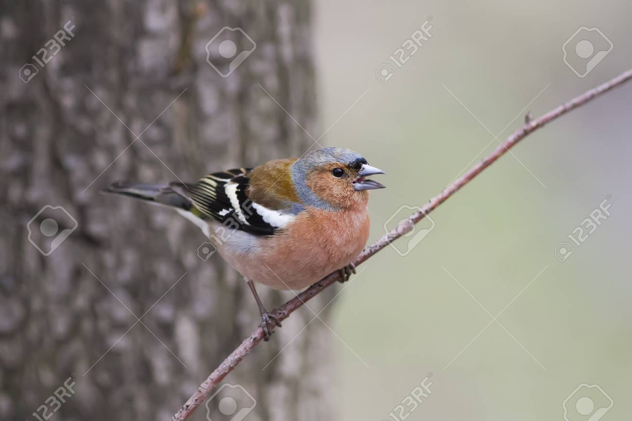 Captivating Bird Chaffinch Sits In The Spring In The Park And Sings A Song Stock Photo