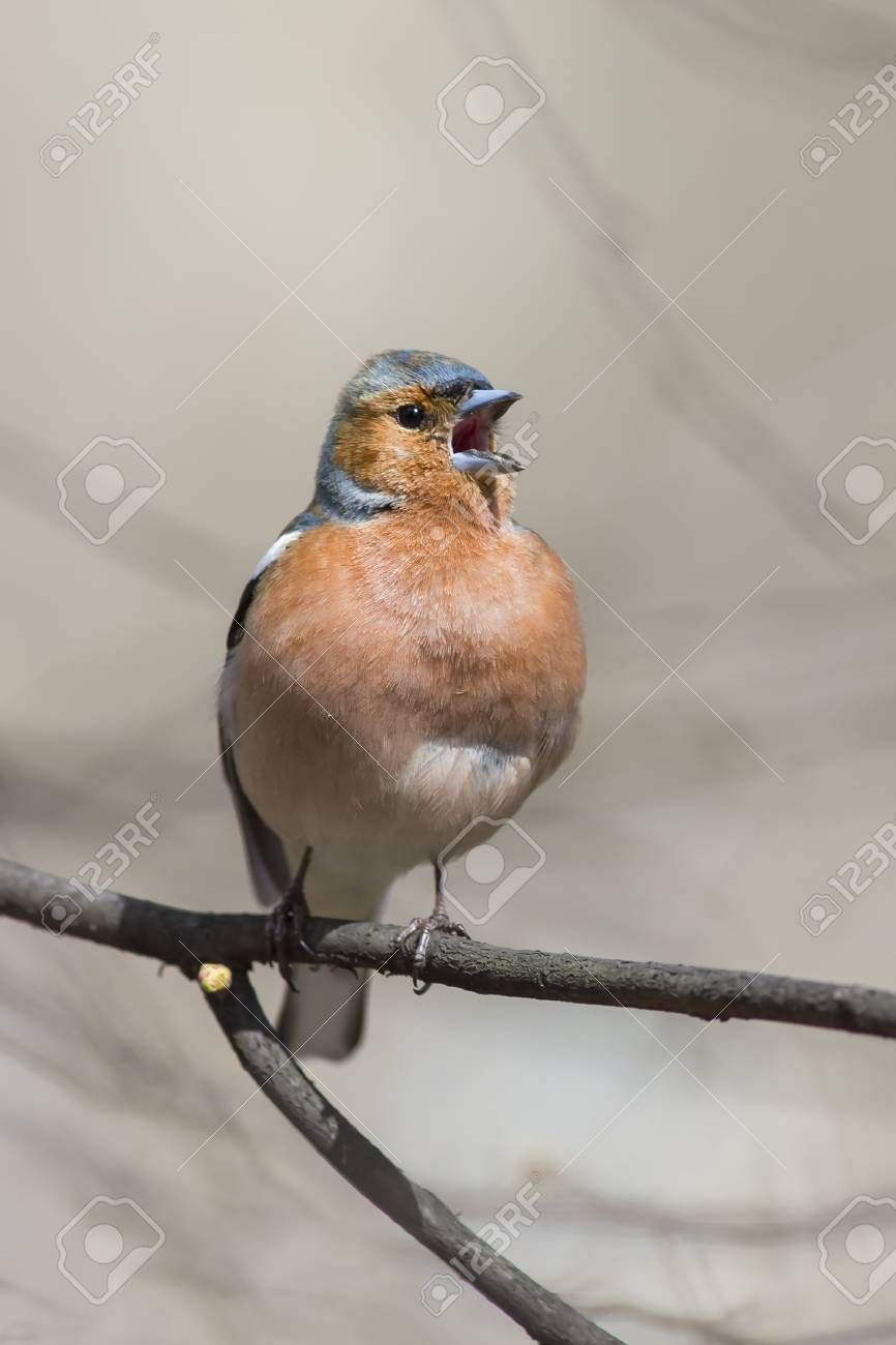 Good Bird Chaffinch Sits In The Spring In The Park And Sings A Song Stock Photo