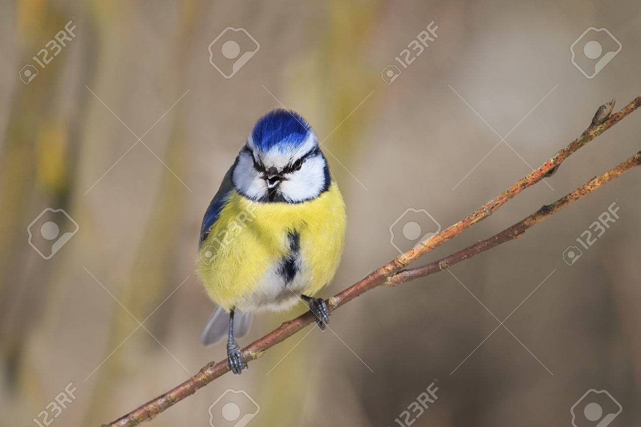 Stock Photo   Sweetheart Beautiful Blue Tit Bird With A Yellow Breast Sings  The Song In The Beginning Of Spring In The Park