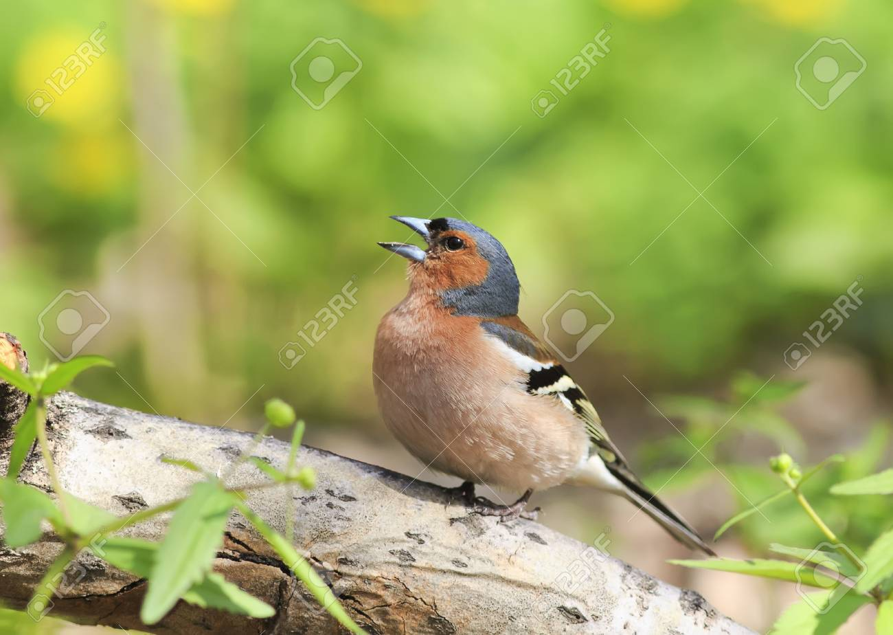 Chaffinch Sings The Song While Standing On A Log In Spring Park Stock Photo    74524368