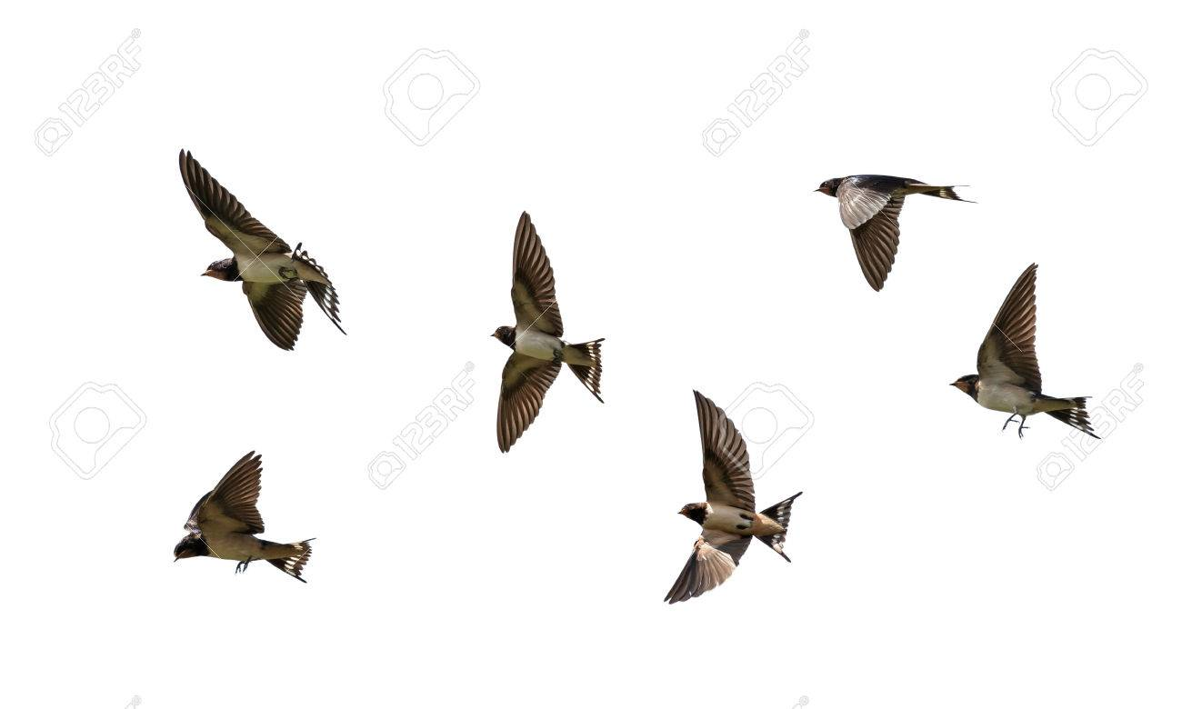 many birds rustic black swallows fluttering wings on white isolated background - 76442500