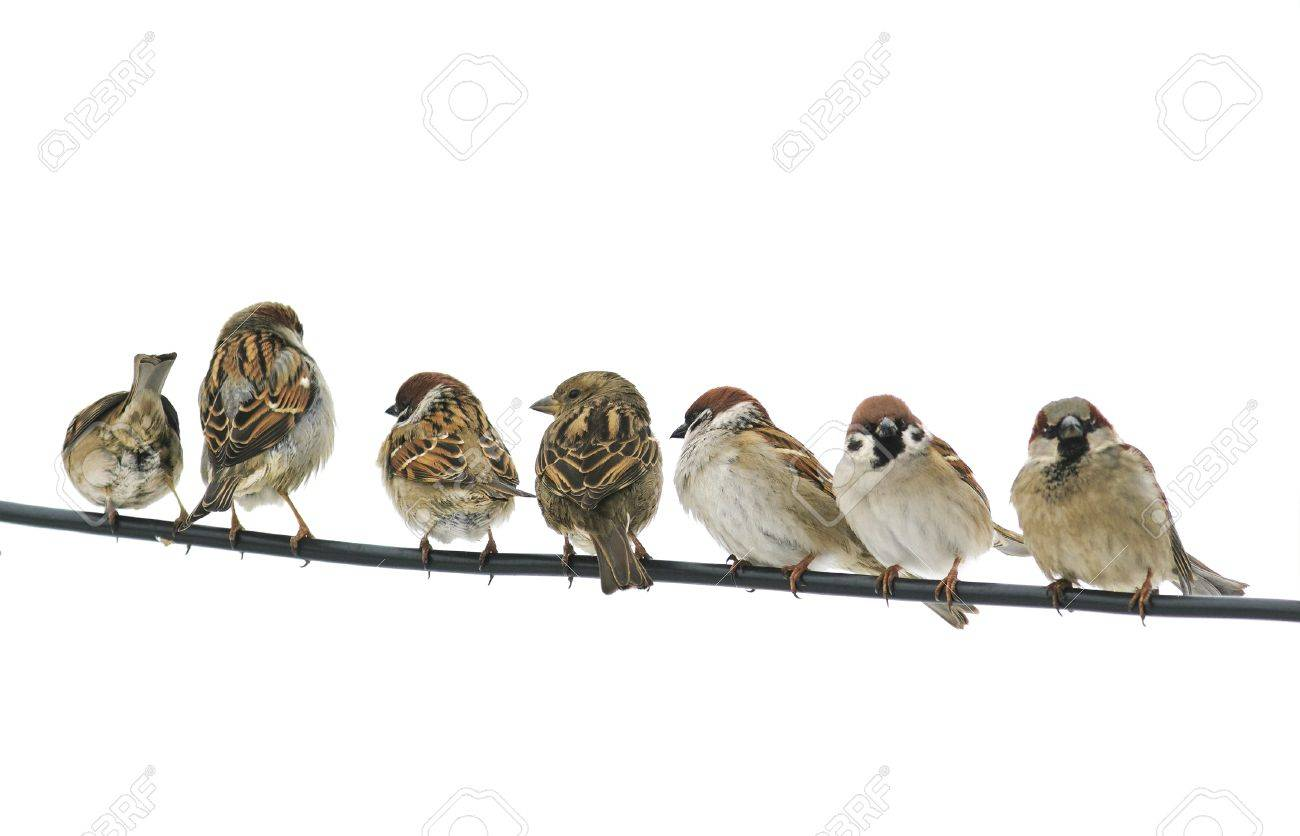 Many Small Birds Sparrows Sitting On A Wire On White Isolated ...