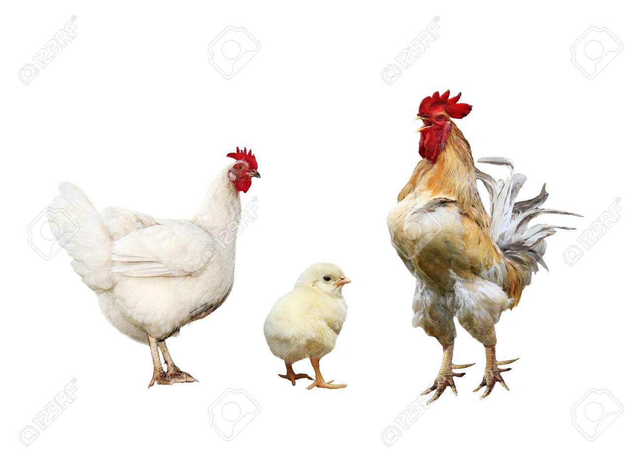 family portrait poultry chicken, red rooster bright yellow little chicken on a white isolated background - 93560316