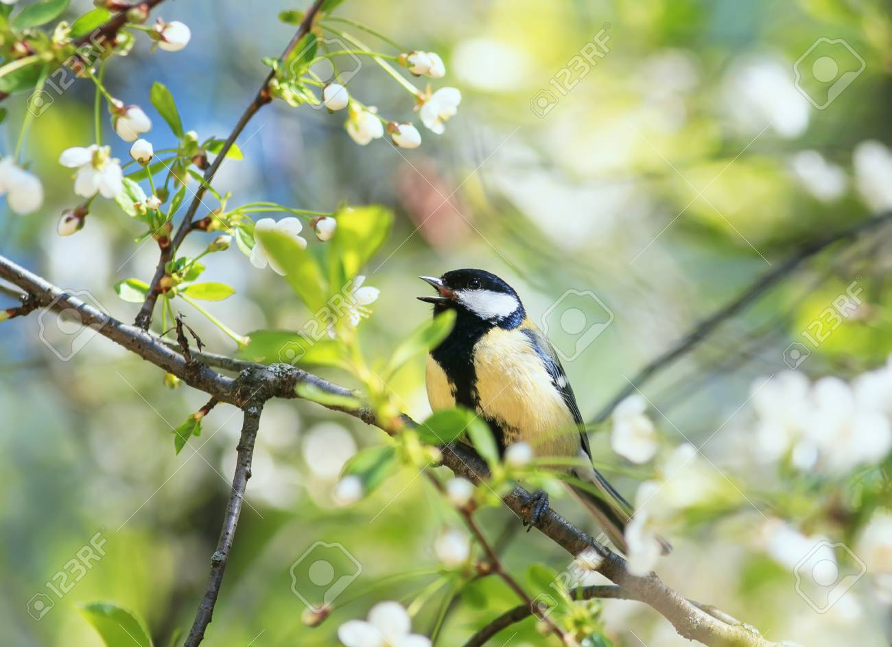 Superior Cute Bird Tit Sings A Beautiful Song In Spring Garden On Branch In May  Flowers Stock