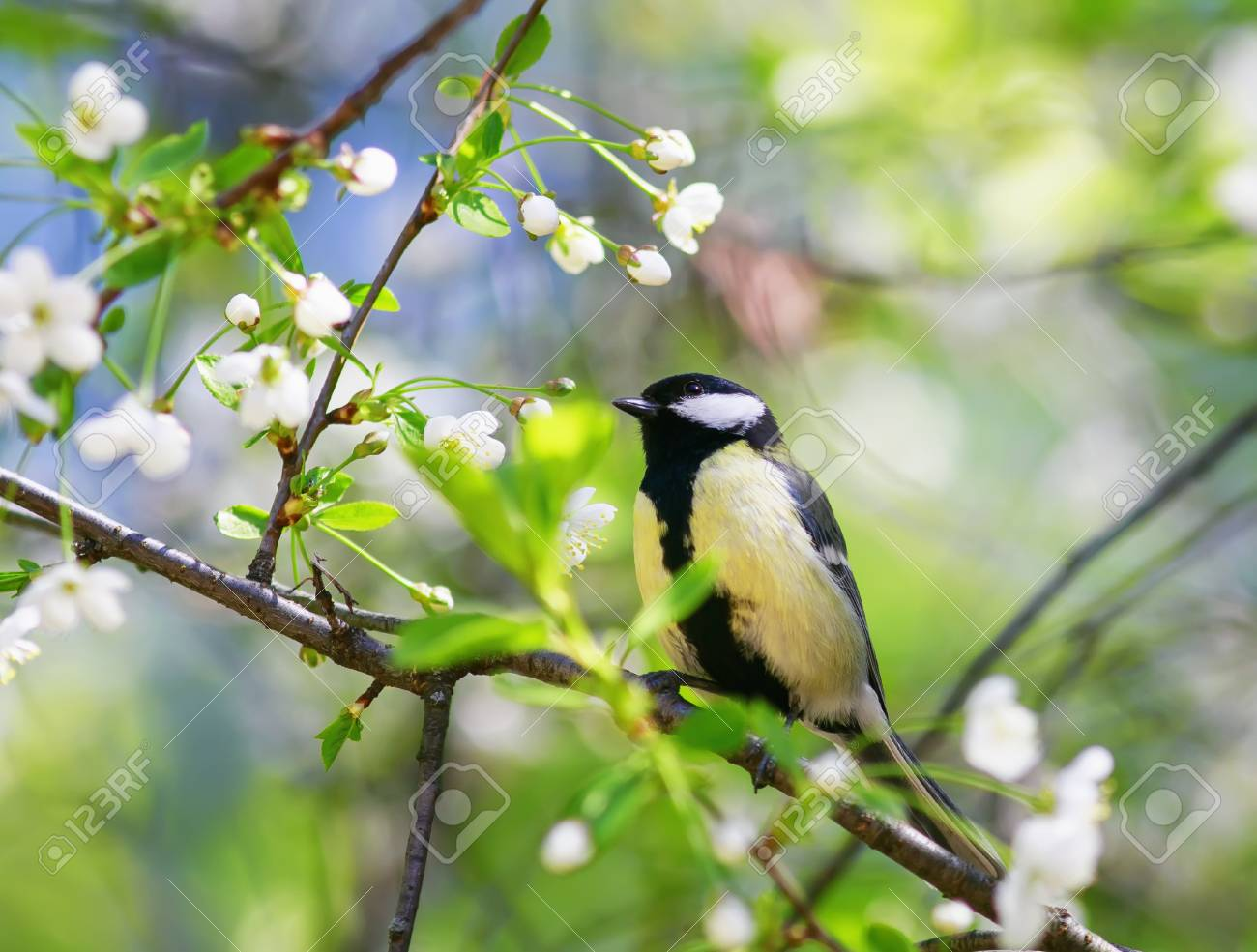 Cute Bird Sitting In The Garden On A Cherry Branch In White Spring