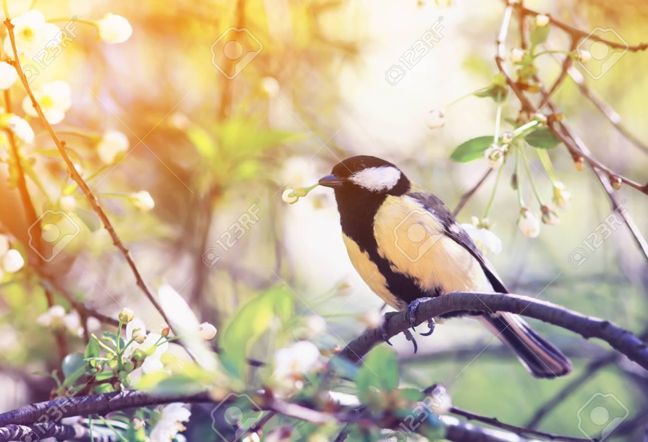 Cute Bird Tit Sitting In The Garden On A Cherry Branch In White