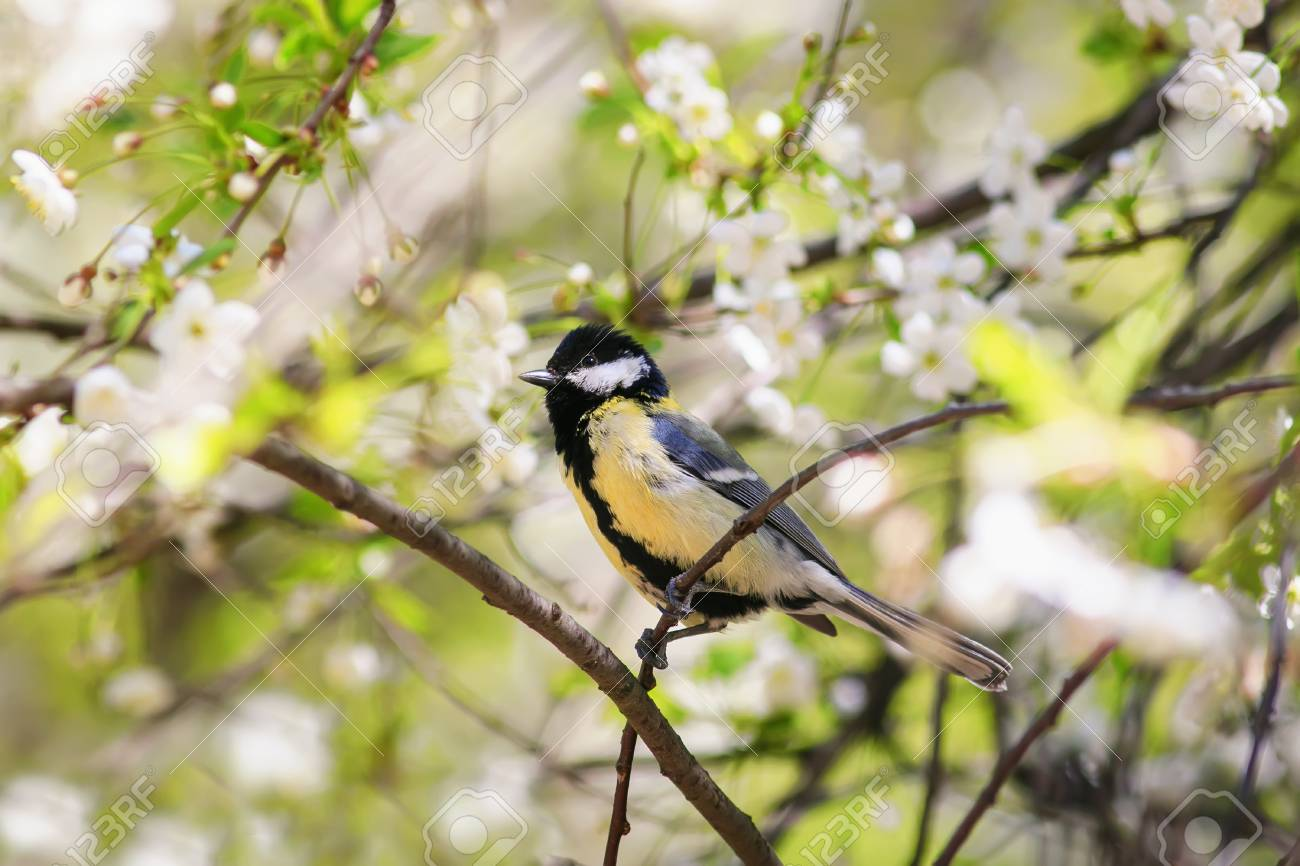 Cute Bird Tit Sings A Beautiful Song In Spring Garden On Branch In May  Flowers Stock