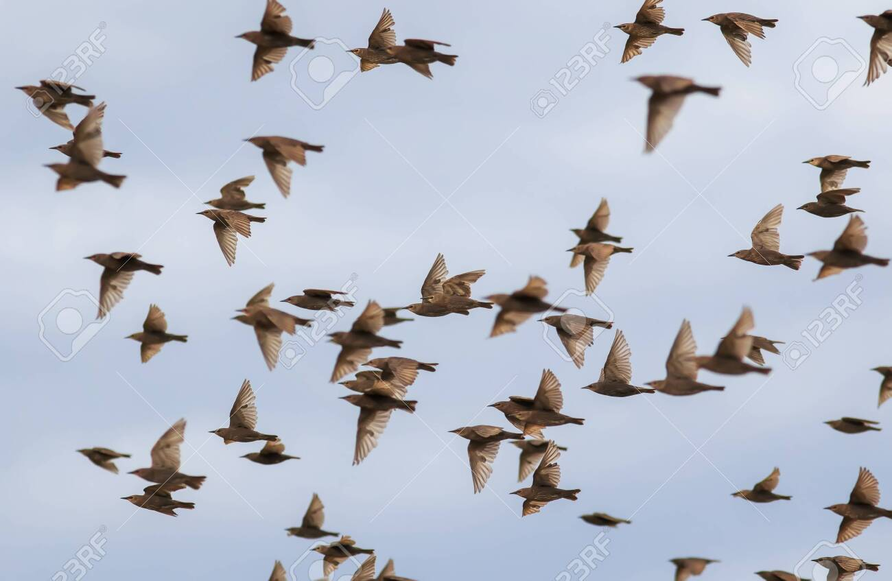 flock of young migratory birds starlings flies against the blue sky in autumn - 155113730