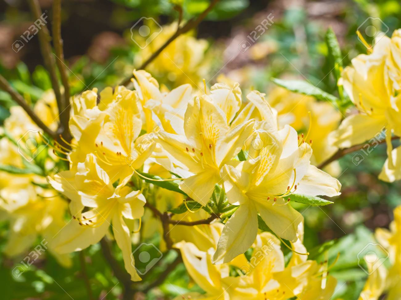 Yellow Flowers Of A Rhododendron On A Branch On Sunlight Stock