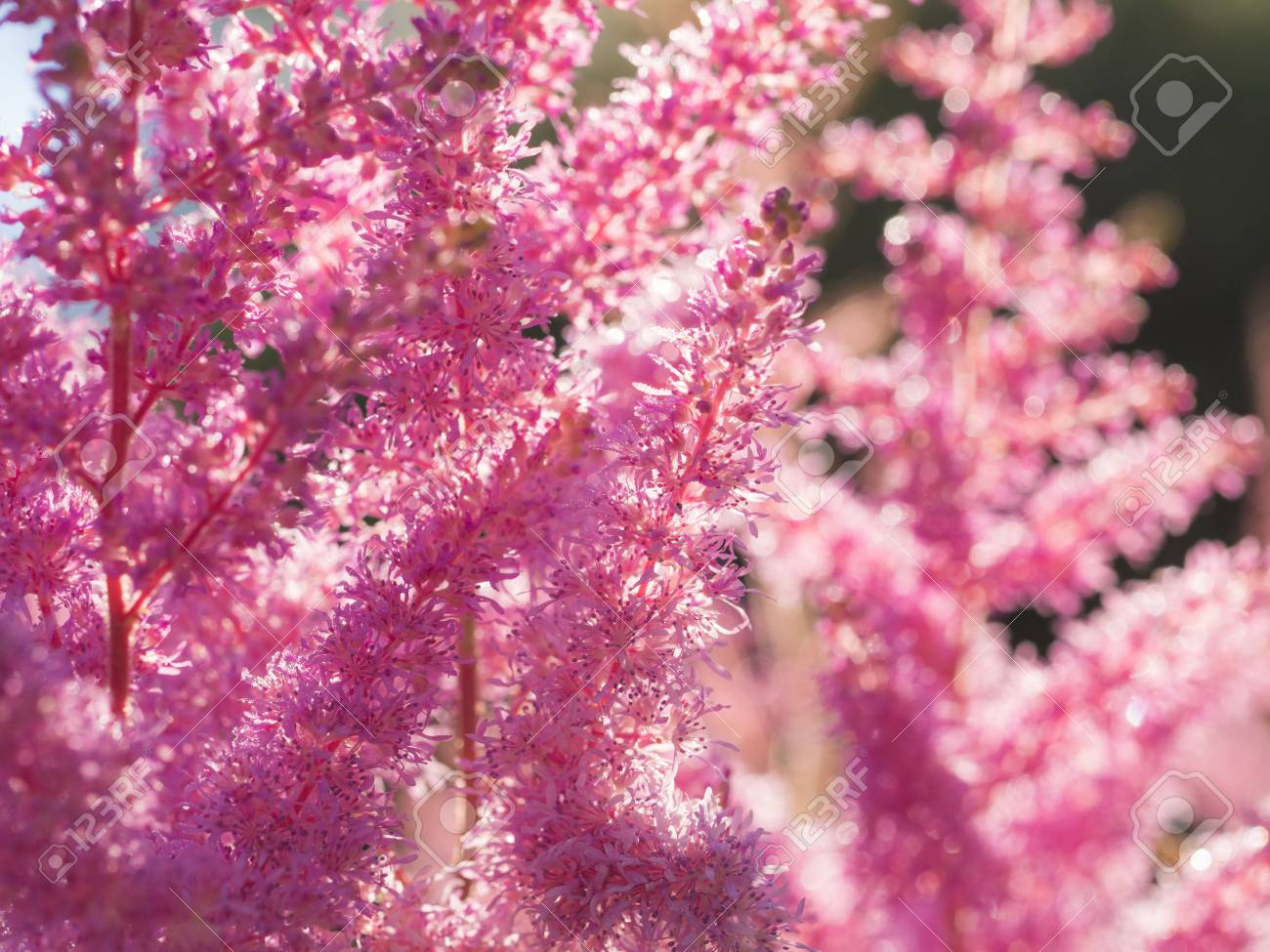 Beautiful Bush Of Flowers Astilbe With A Fluffy Pink Panicles Stock