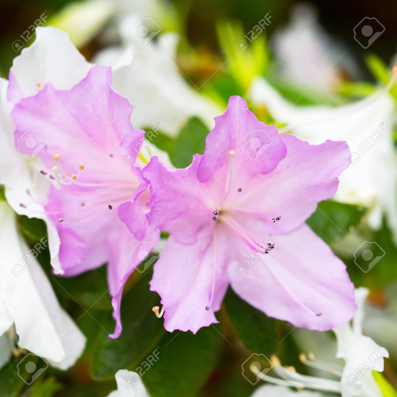 Two Delicate Lilac Flower Bud Of Rhododendron Bloom On A Branch