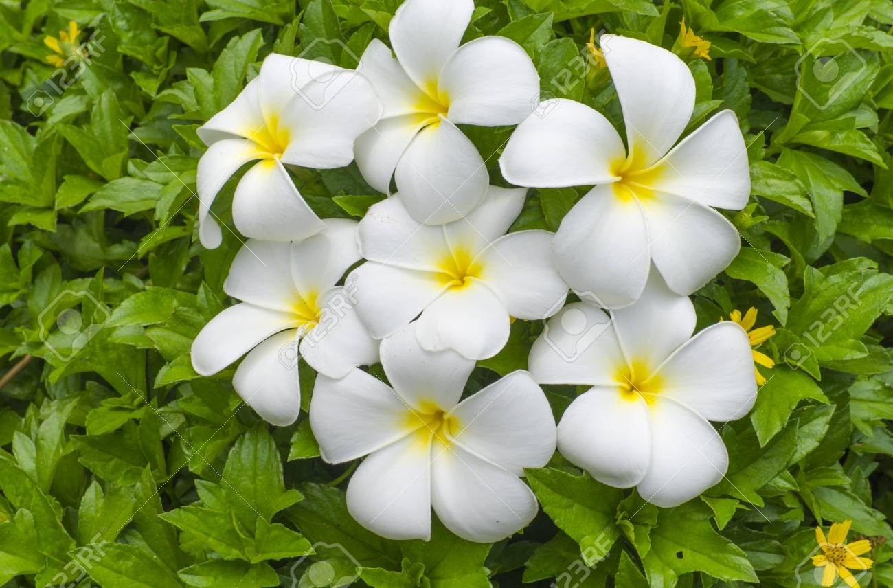 White Flowers Of A Pakhipodium With The Yellow Center Against