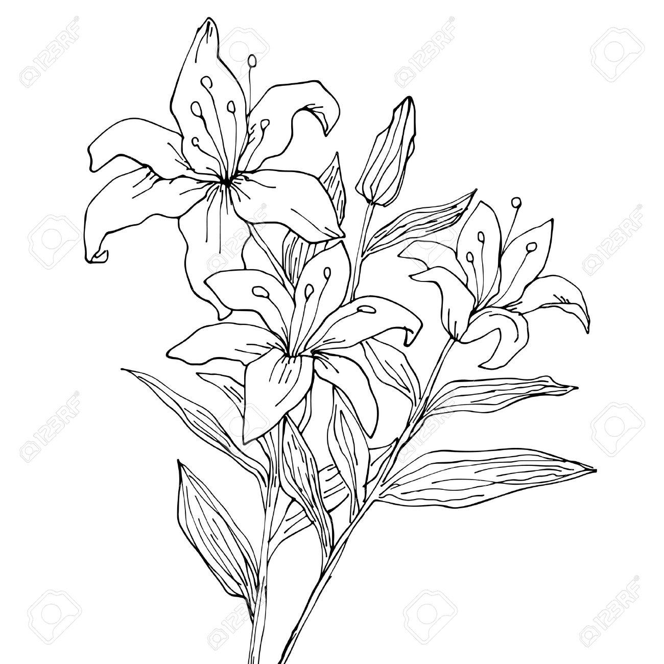 Fleurs De Lys Isole Main Dessin Illustration Clip Art Libres De