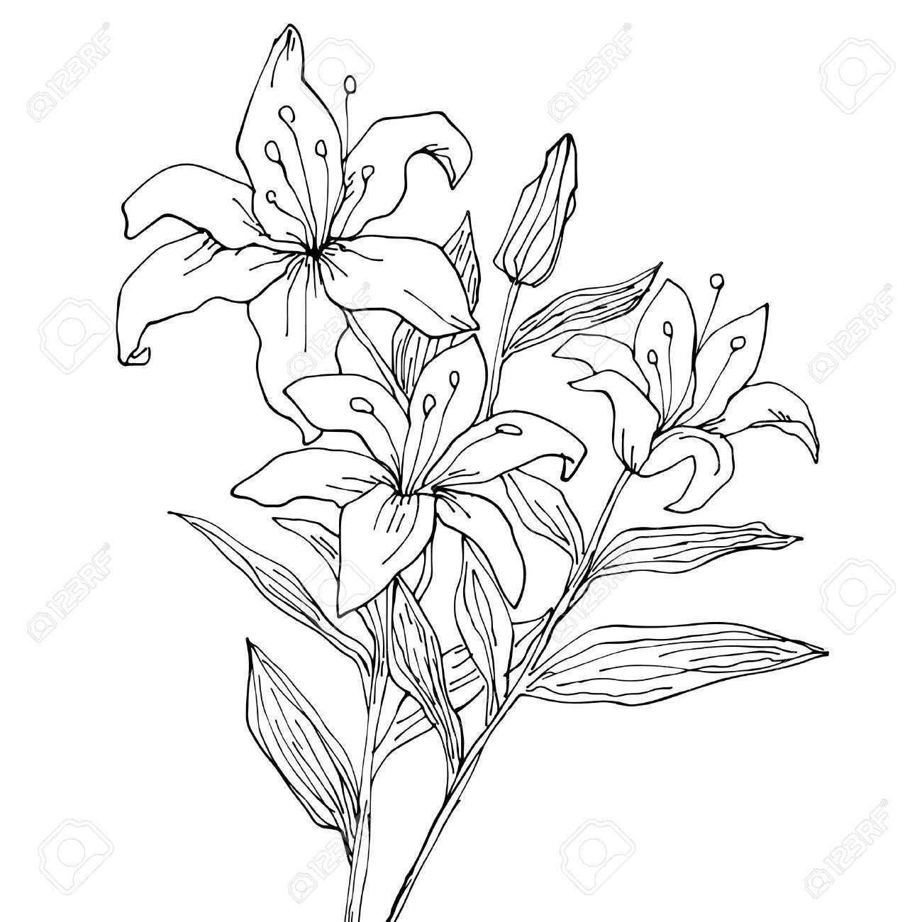 Lily Flowers Isolated Hand Drawing Illustration Royalty Free