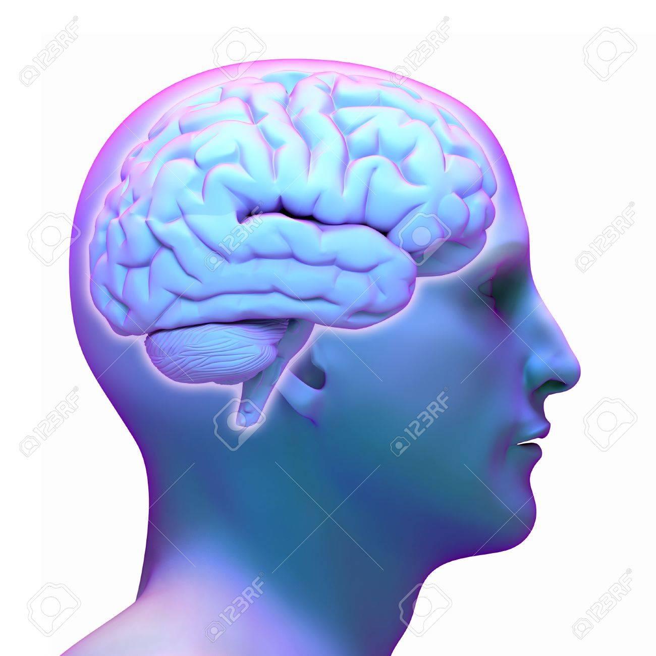 Brain diagram in human head on white background stock photo brain diagram in human head on white background stock photo 42047655 ccuart Image collections